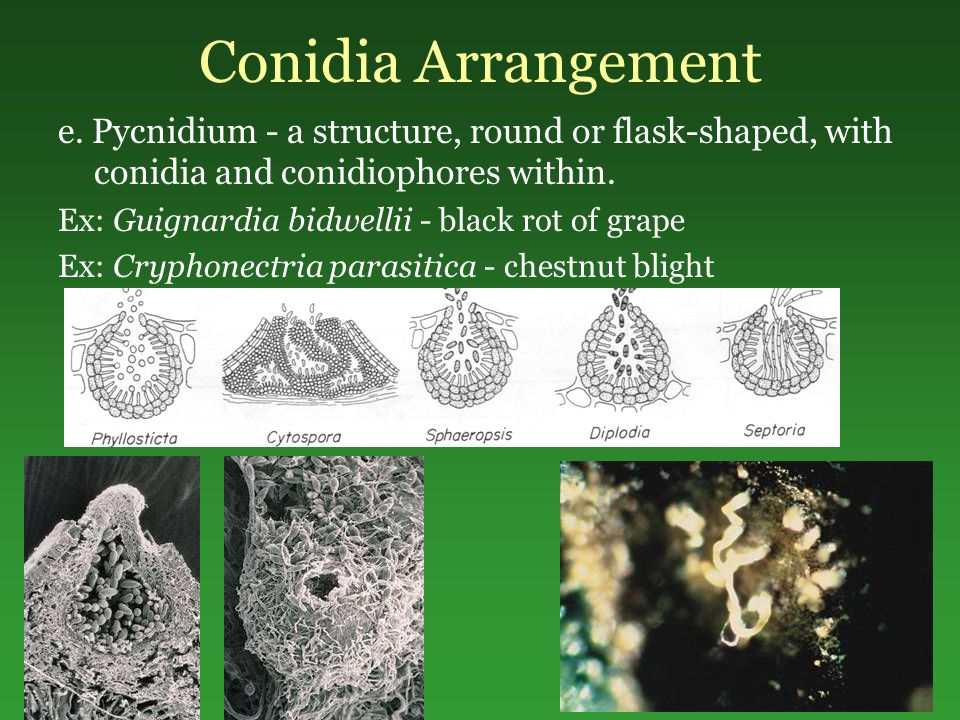 Conidia Arrangement e. Pycnidium - a structure, round or flask-shaped, with conidia and conidiophores within.