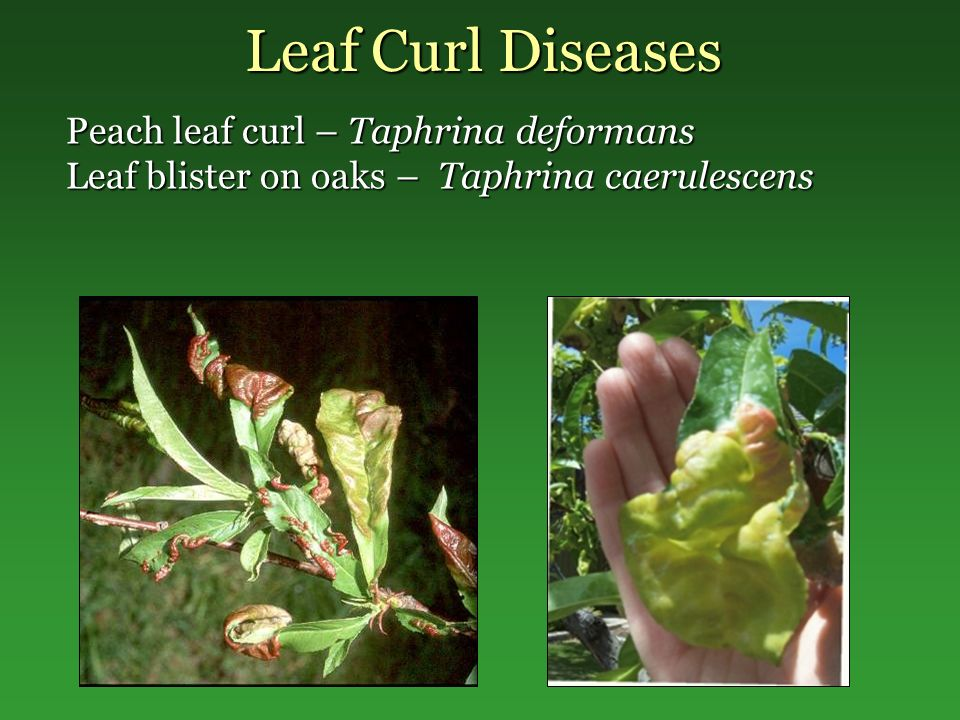 Leaf Curl Diseases Peach leaf curl – Taphrina deformans