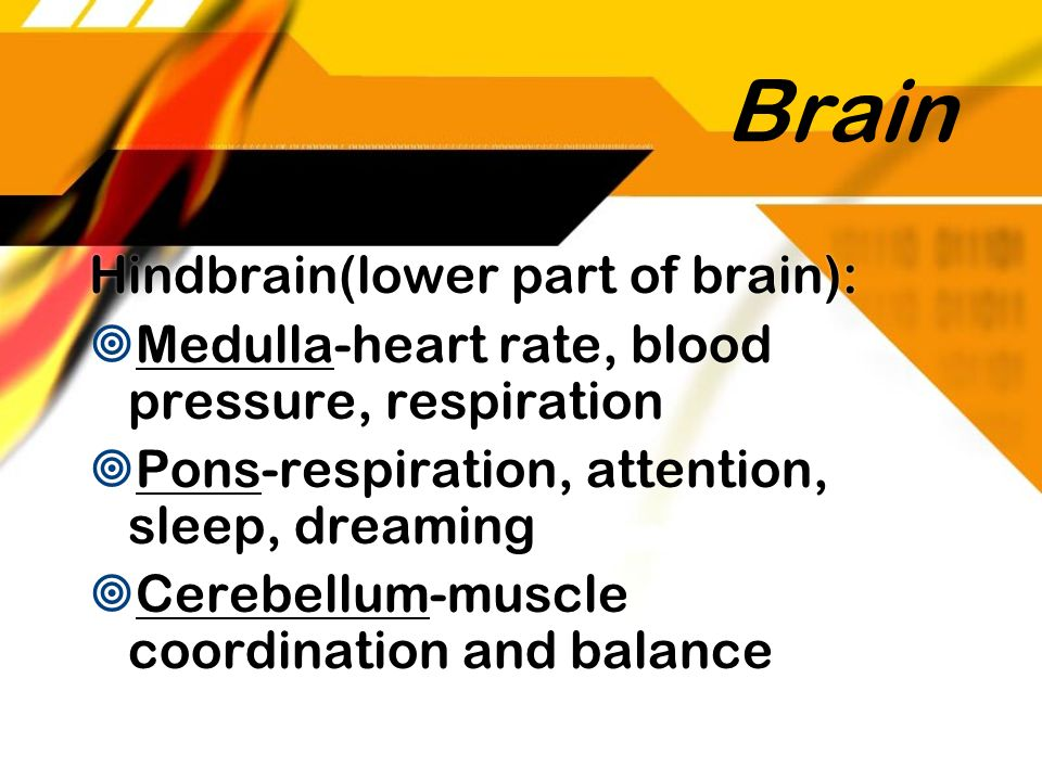 Brain Hindbrain(lower part of brain):