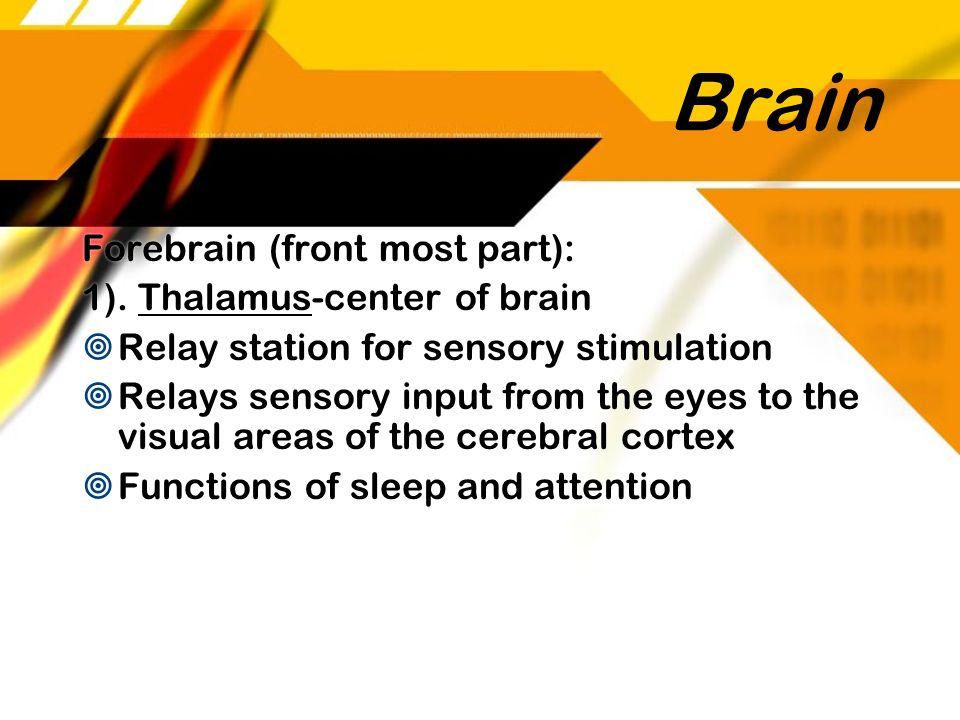 Brain Forebrain (front most part): 1). Thalamus-center of brain