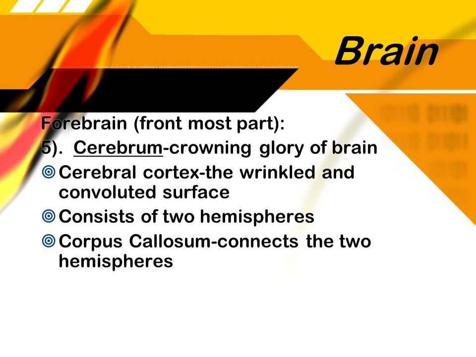 Brain Forebrain (front most part):