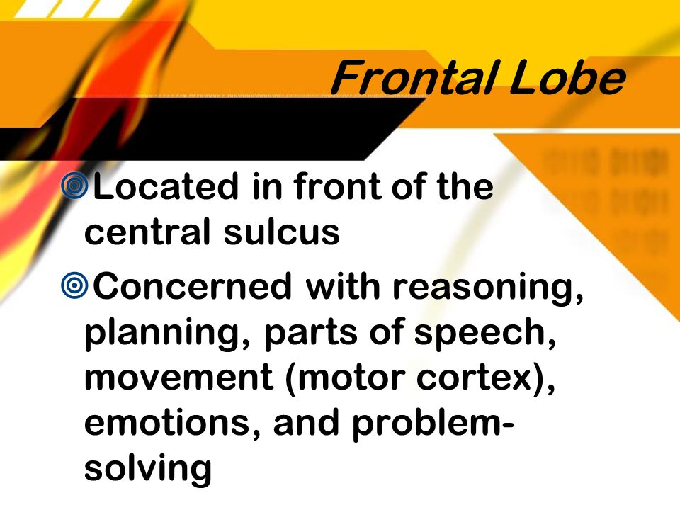 Frontal Lobe Located in front of the central sulcus