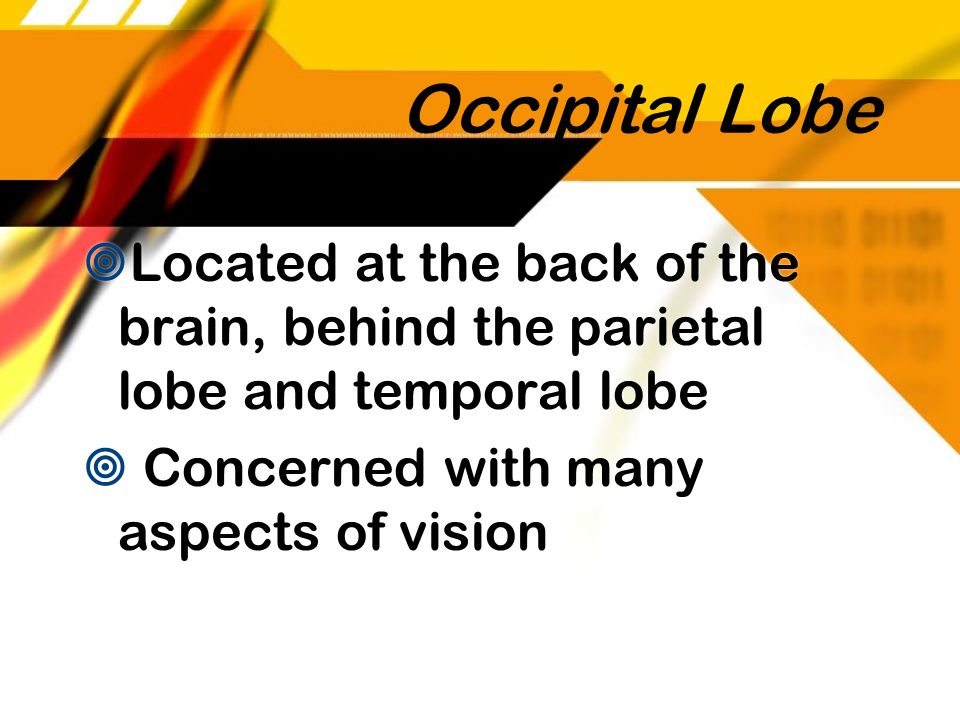 Occipital Lobe Located at the back of the brain, behind the parietal lobe and temporal lobe.