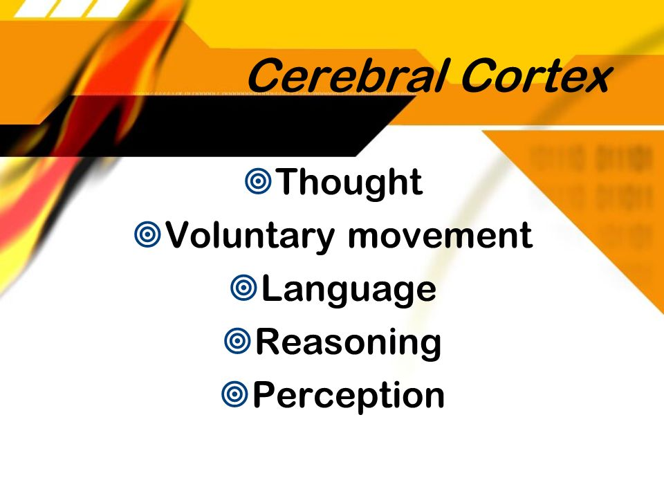 Cerebral Cortex Thought Voluntary movement Language Reasoning