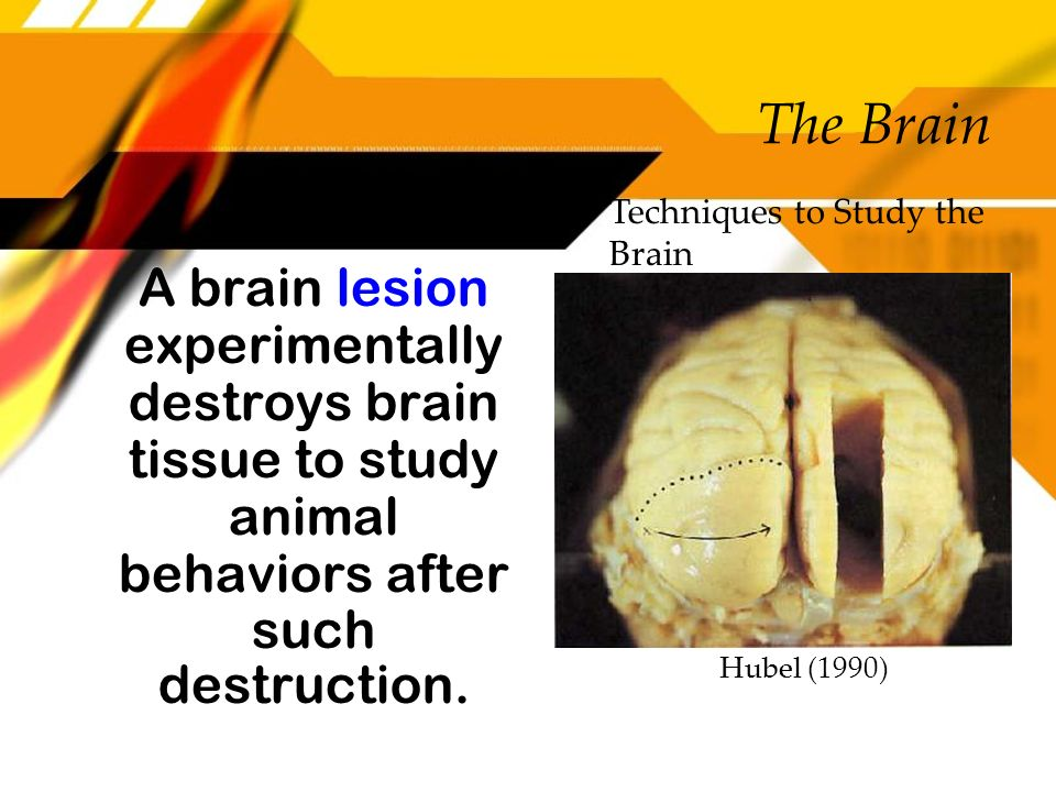The Brain Techniques to Study the Brain. A brain lesion experimentally destroys brain tissue to study animal behaviors after such destruction.