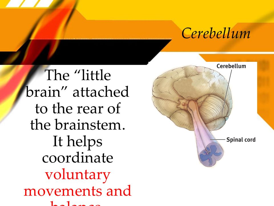 Cerebellum The little brain attached to the rear of the brainstem.