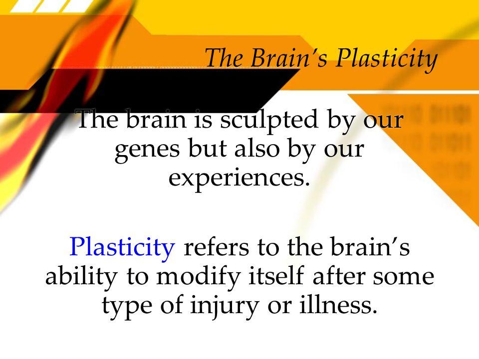 The Brain's Plasticity