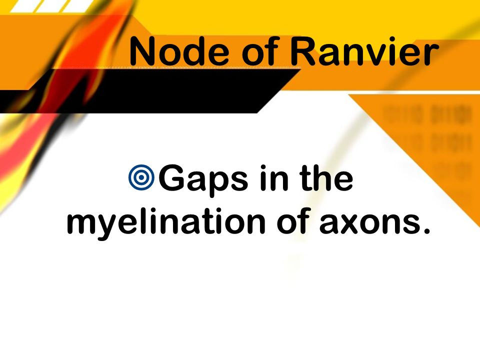 Gaps in the myelination of axons.