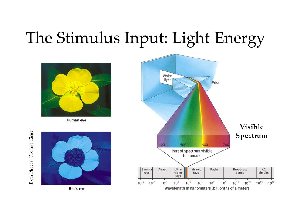 The Stimulus Input: Light Energy