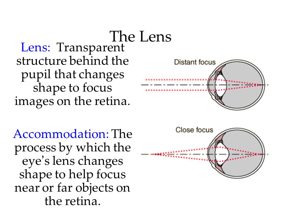 The Lens Lens: Transparent structure behind the pupil that changes shape to focus images on the retina.