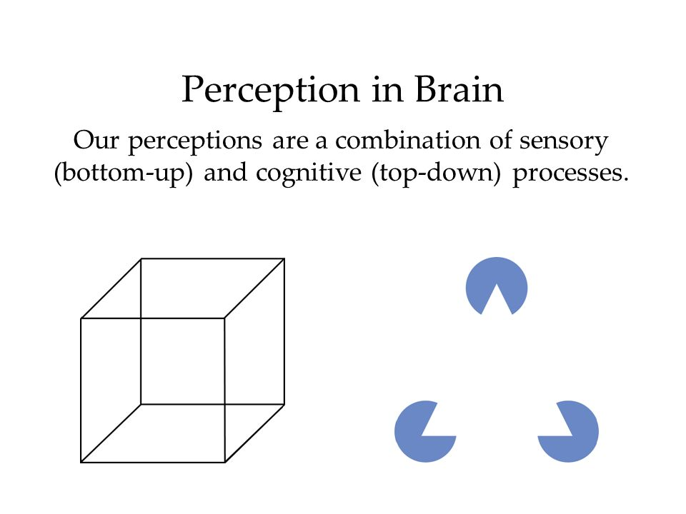 Perception in BrainOur perceptions are a combination of sensory (bottom-up) and cognitive (top-down) processes.