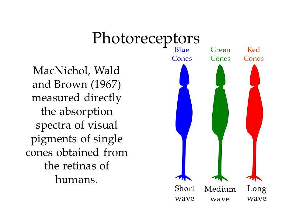 PhotoreceptorsBlue. Cones. Green. Cones. Red. Cones.