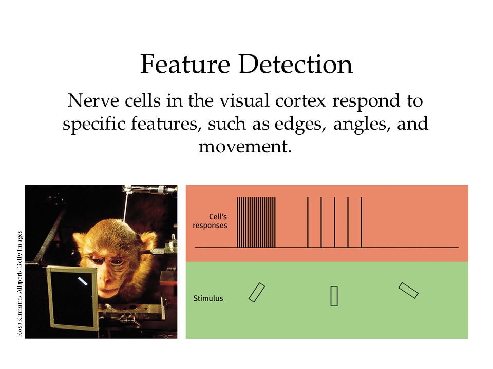 Feature Detection Nerve cells in the visual cortex respond to specific features, such as edges, angles, and movement.