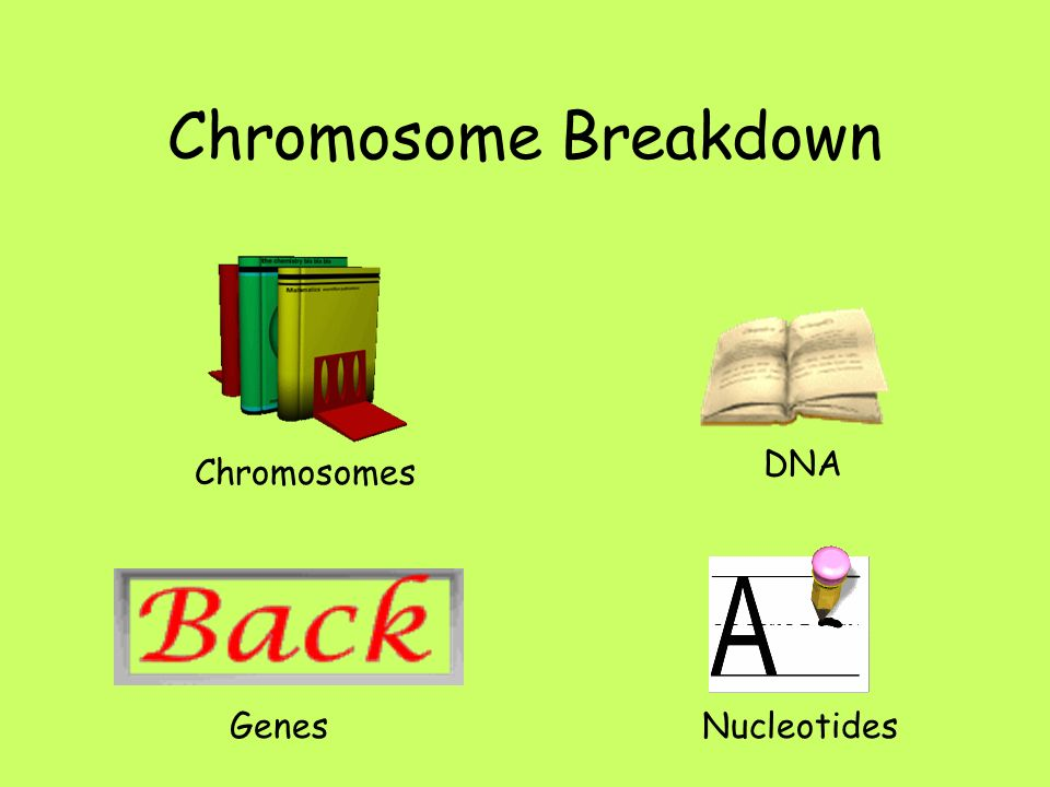 Chromosome Breakdown DNA Chromosomes Genes Nucleotides