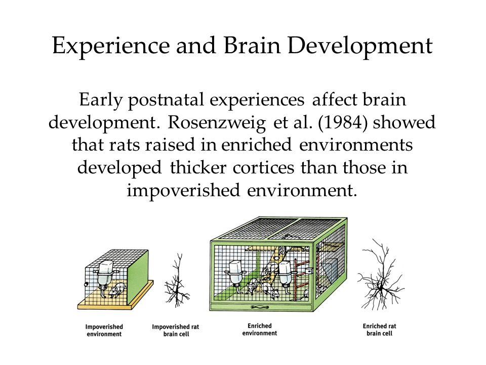 Experience and Brain Development