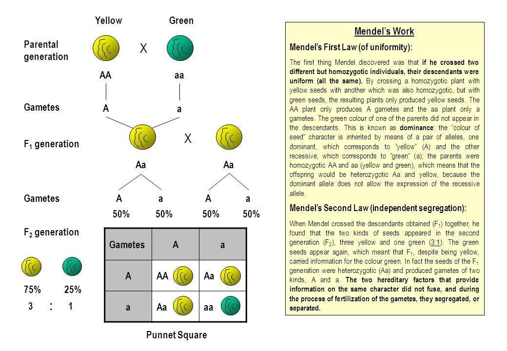X X : Yellow Green Mendel's Work Parental generation AA aa A Gametes a