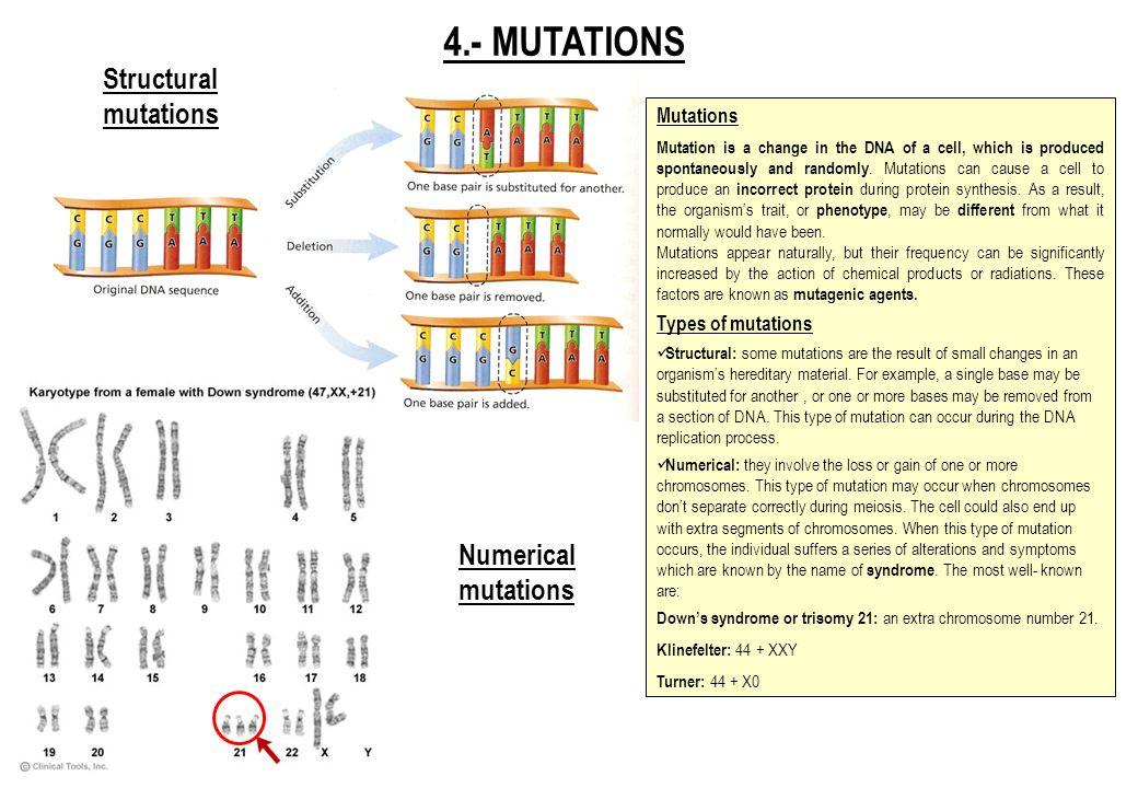 4.- MUTATIONS Structural mutations Numerical mutations Mutations