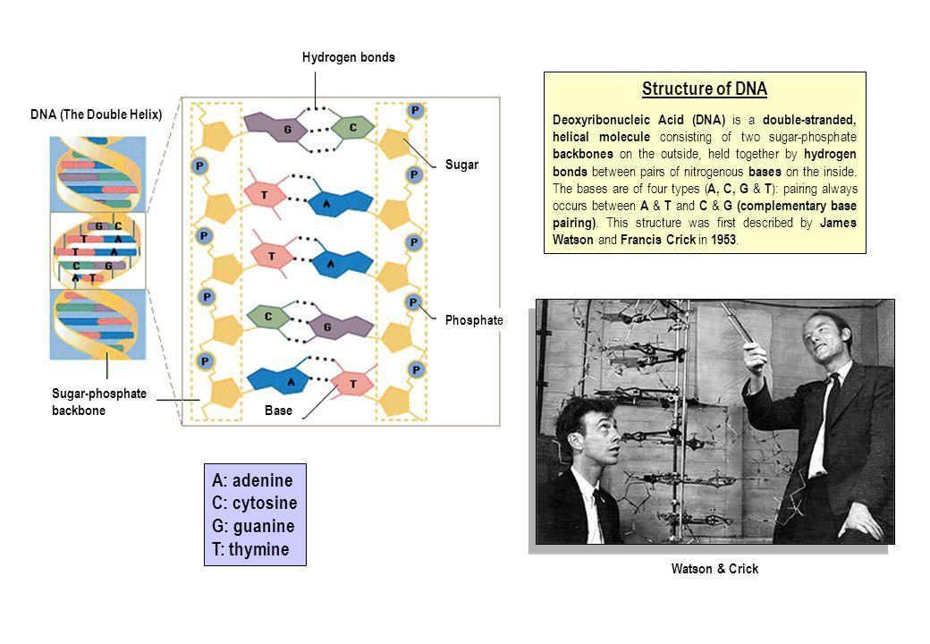 Structure of DNA A: adenine C: cytosine G: guanine T: thymine