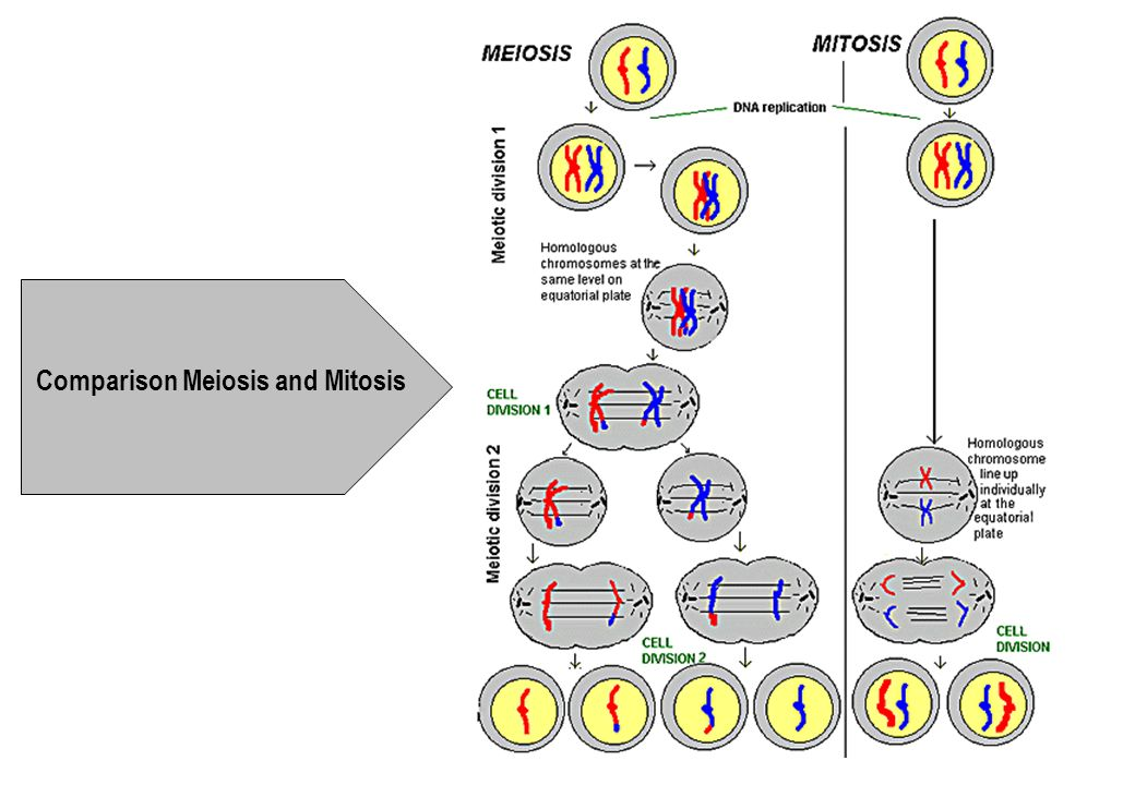 Comparison Meiosis and Mitosis