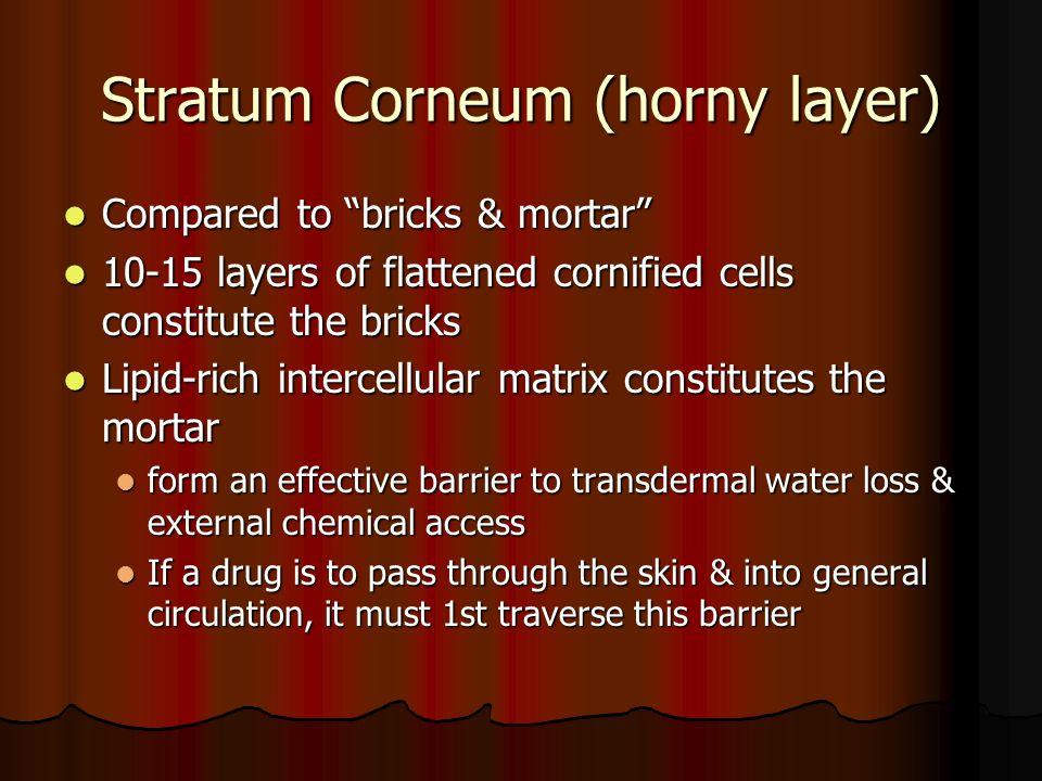 Stratum Corneum (horny layer)