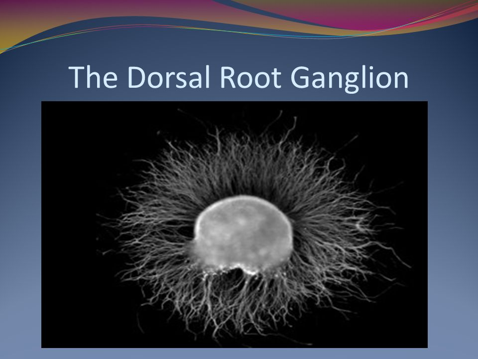 The Dorsal Root Ganglion