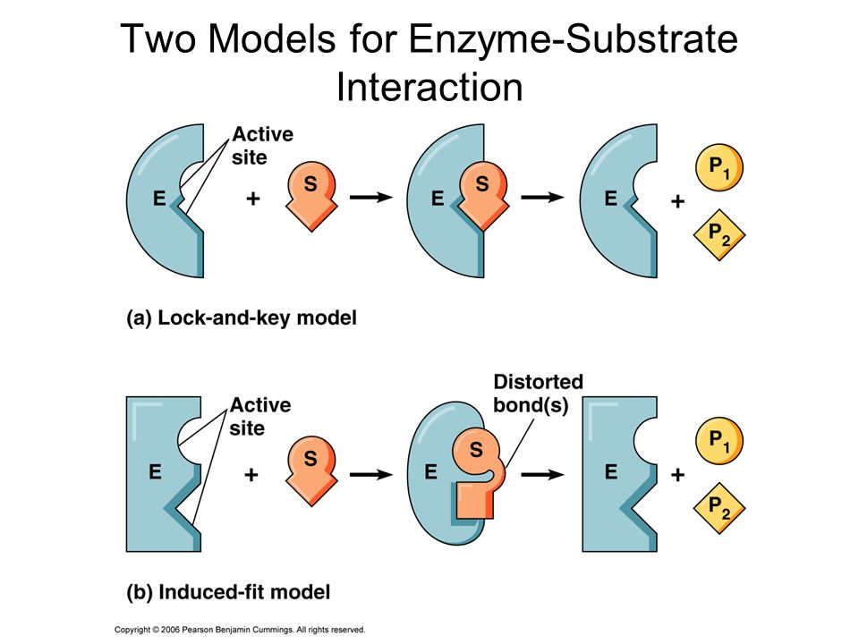 three main steps of the cycle of enzyme substrate interactions Photosynthesis and fermentation assignment three major steps of the cycle of enzime-substrate interactions are the next ones: 1 enzyme and substrate.