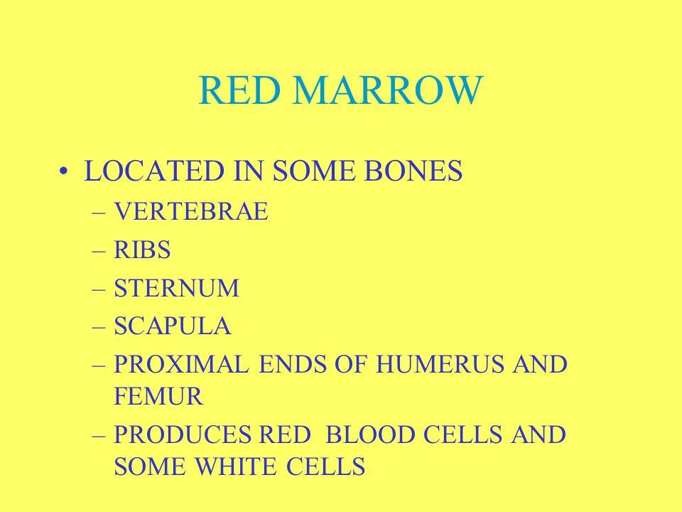 RED MARROW LOCATED IN SOME BONES VERTEBRAE RIBS STERNUM SCAPULA