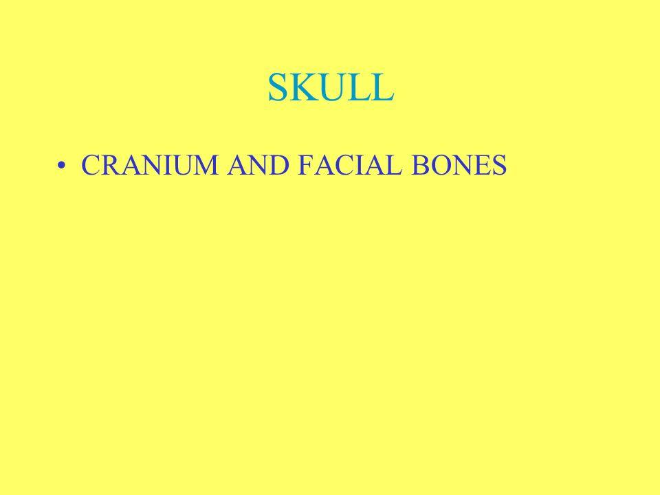 SKULL CRANIUM AND FACIAL BONES