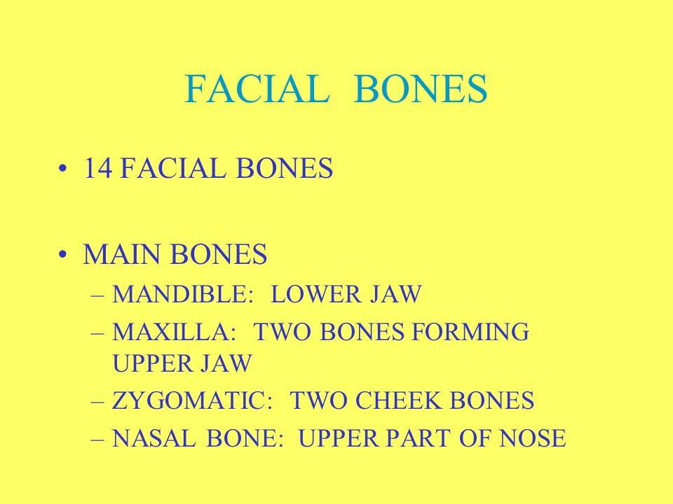 FACIAL BONES 14 FACIAL BONES MAIN BONES MANDIBLE: LOWER JAW