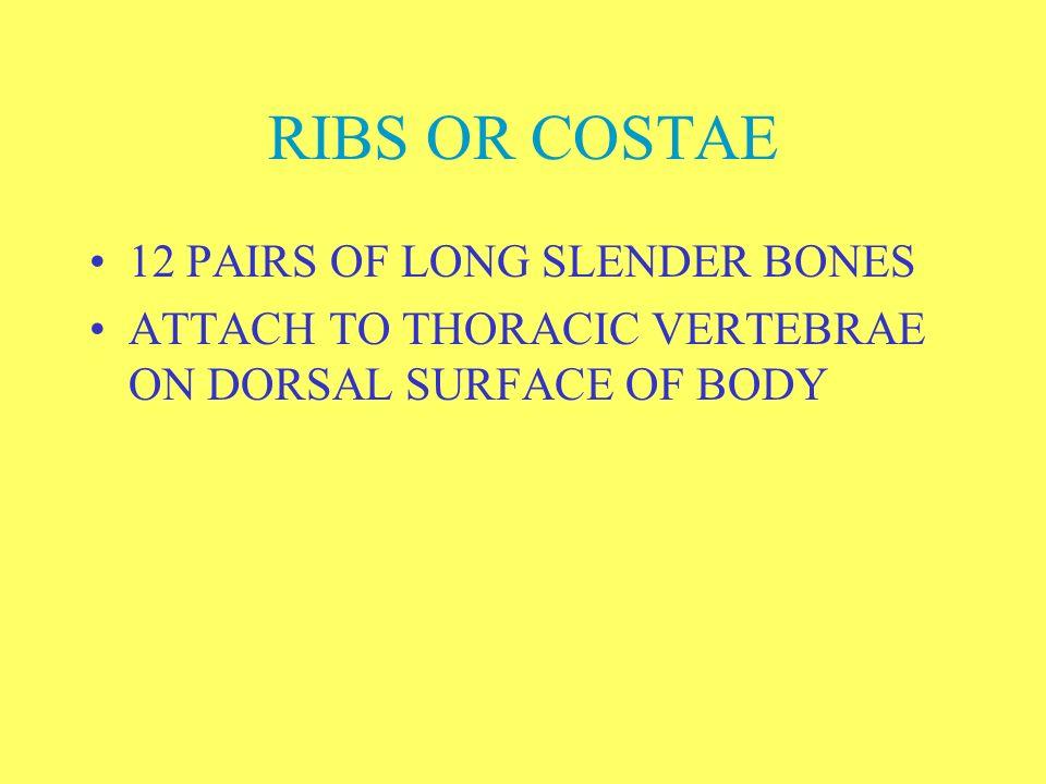 RIBS OR COSTAE 12 PAIRS OF LONG SLENDER BONES