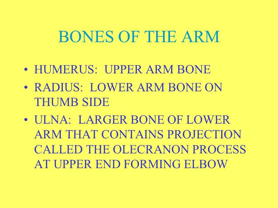 BONES OF THE ARM HUMERUS: UPPER ARM BONE