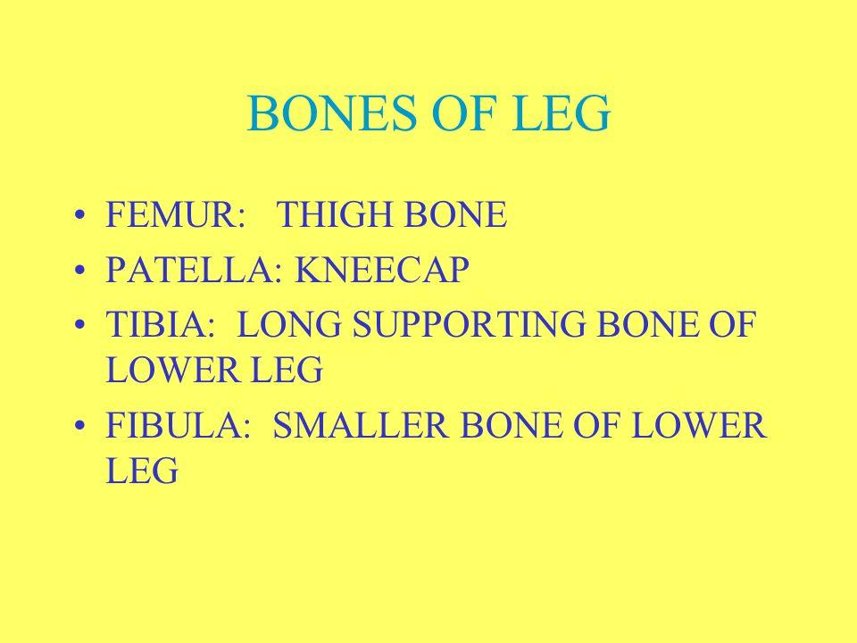 BONES OF LEG FEMUR: THIGH BONE PATELLA: KNEECAP