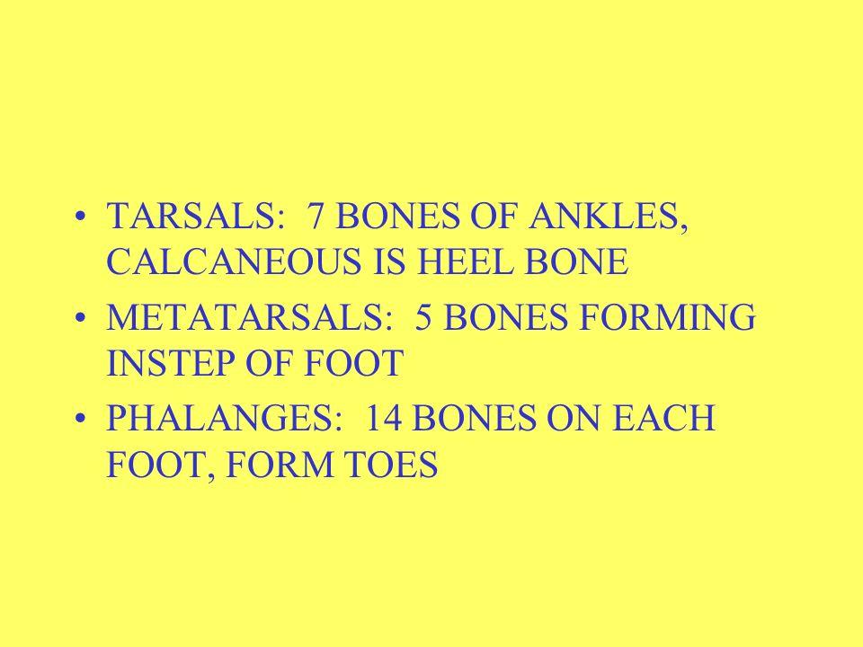 TARSALS: 7 BONES OF ANKLES, CALCANEOUS IS HEEL BONE