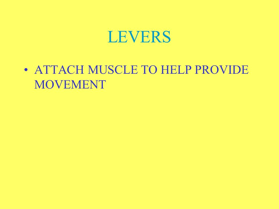 LEVERS ATTACH MUSCLE TO HELP PROVIDE MOVEMENT