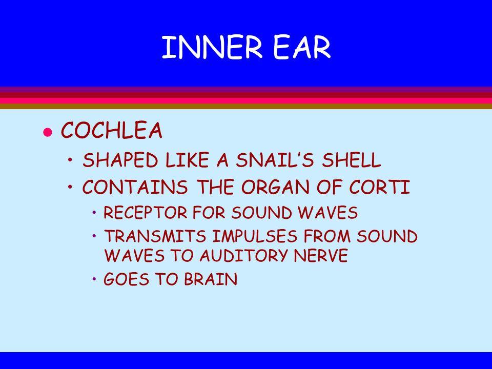 INNER EAR COCHLEA SHAPED LIKE A SNAIL'S SHELL