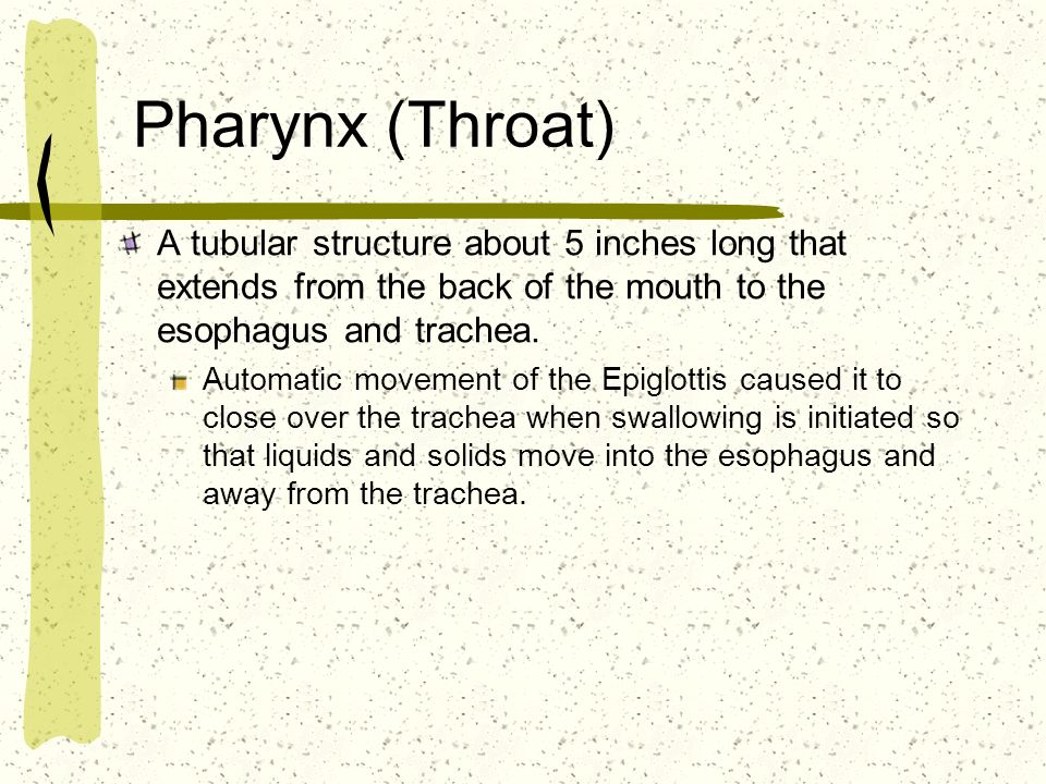 Pharynx (Throat) A tubular structure about 5 inches long that extends from the back of the mouth to the esophagus and trachea.