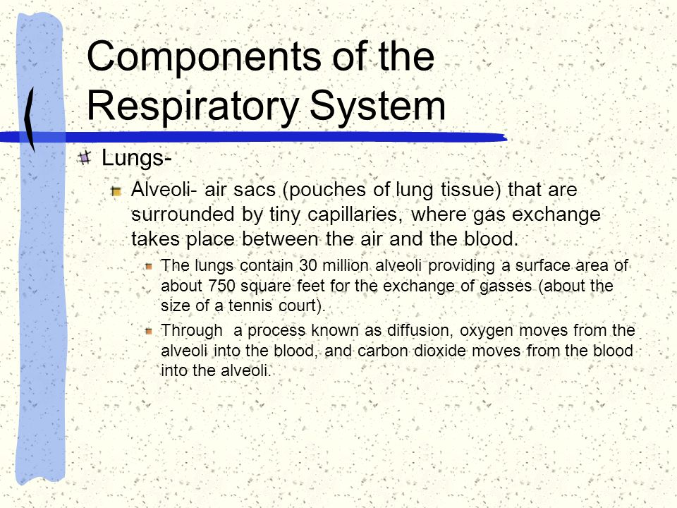 Components of the Respiratory System