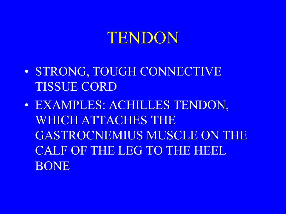 TENDON STRONG, TOUGH CONNECTIVE TISSUE CORD
