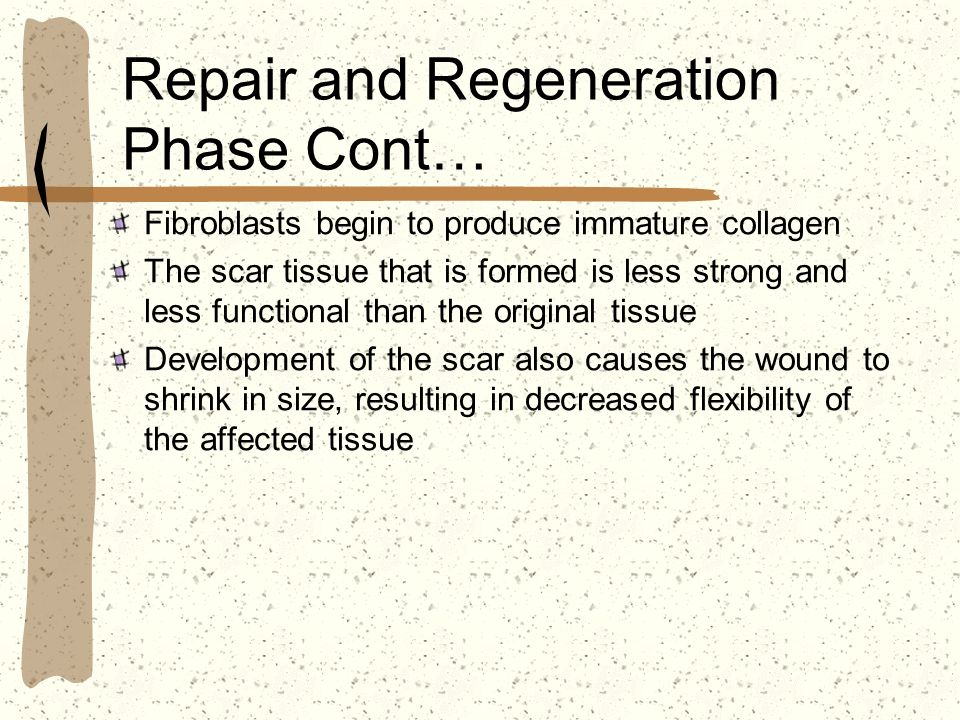 Repair and Regeneration Phase Cont…