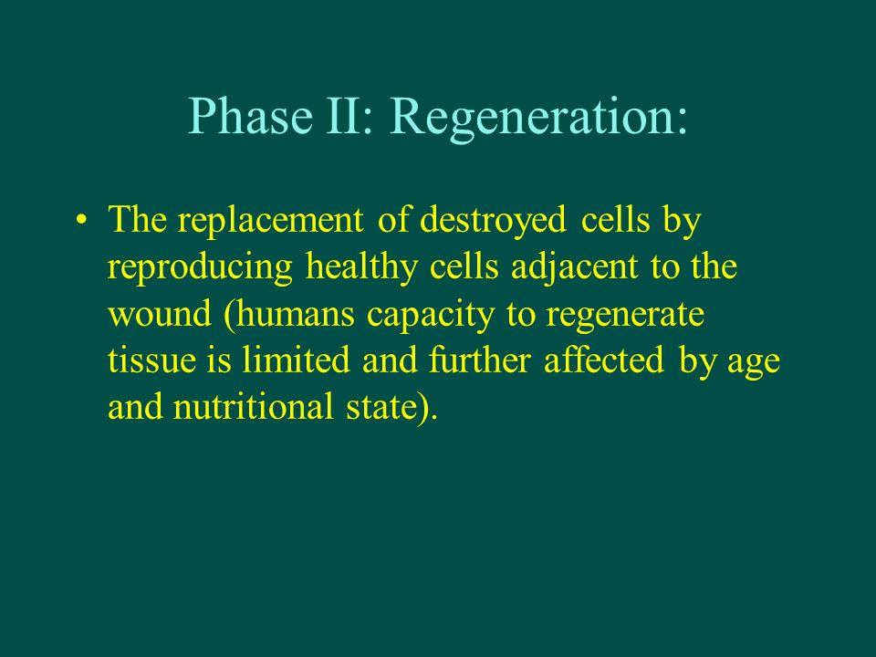 Phase II: Regeneration: