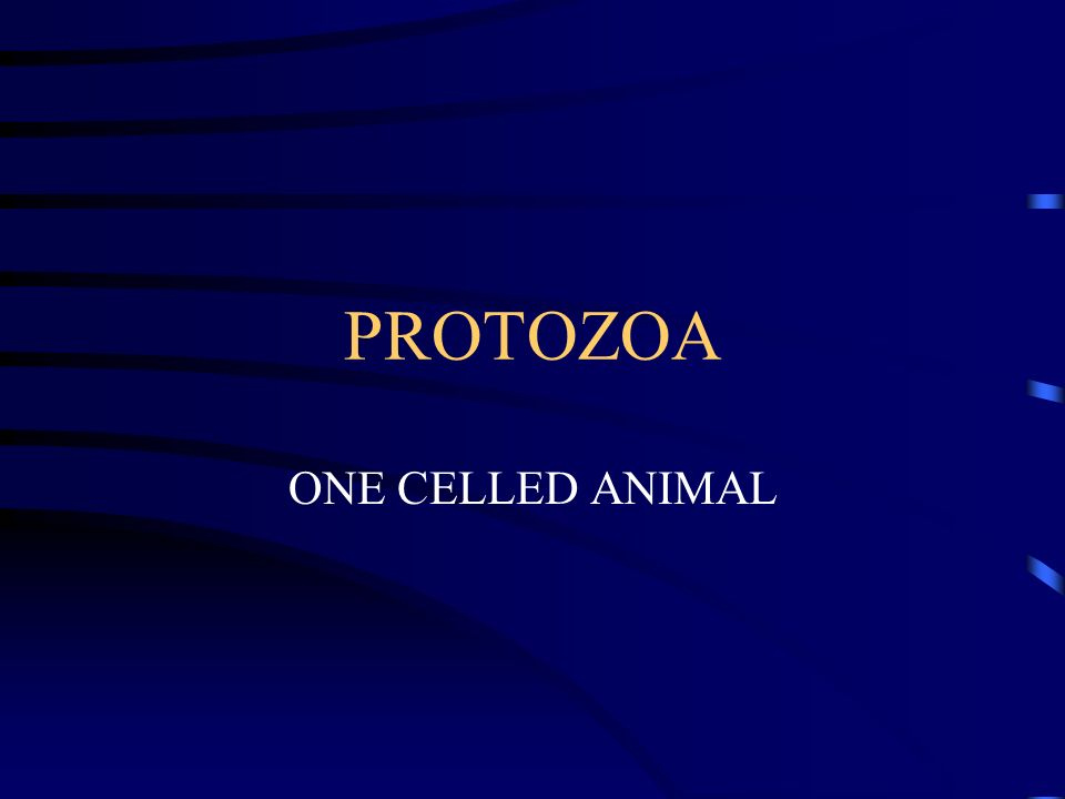 PROTOZOA ONE CELLED ANIMAL