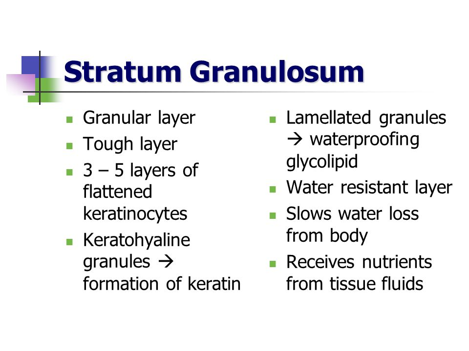 Stratum Granulosum Granular layer Tough layer