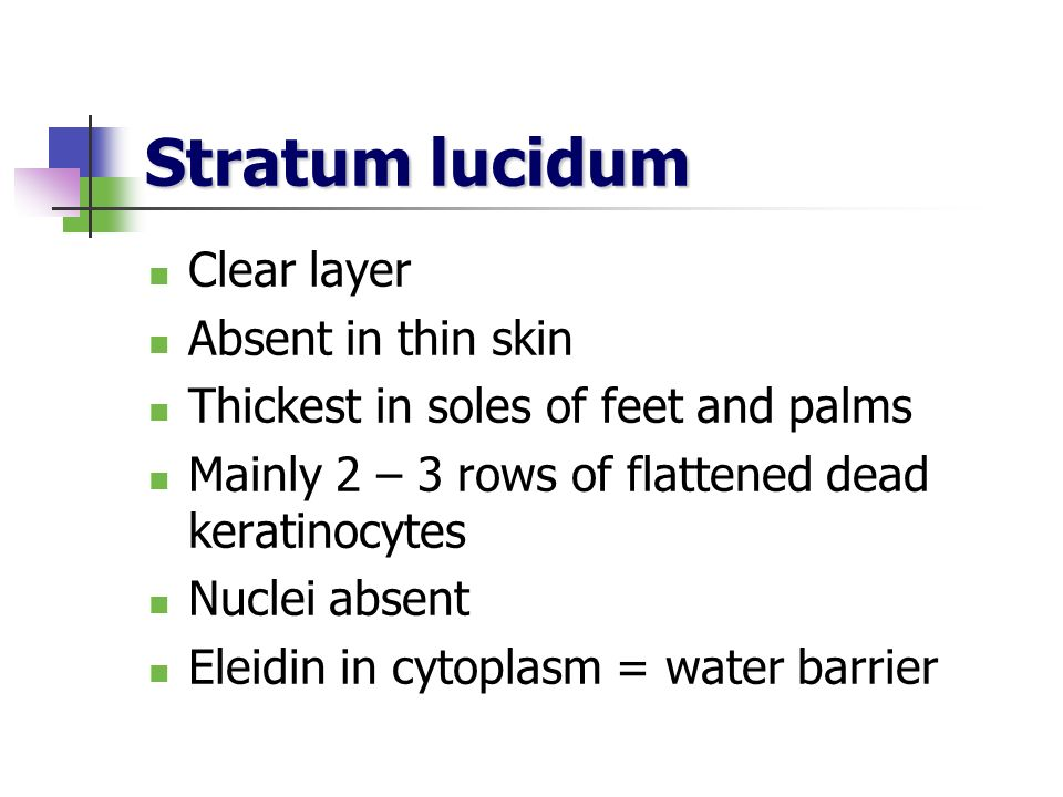 Stratum lucidum Clear layer Absent in thin skin