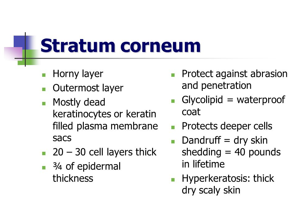Stratum corneum Horny layer Outermost layer