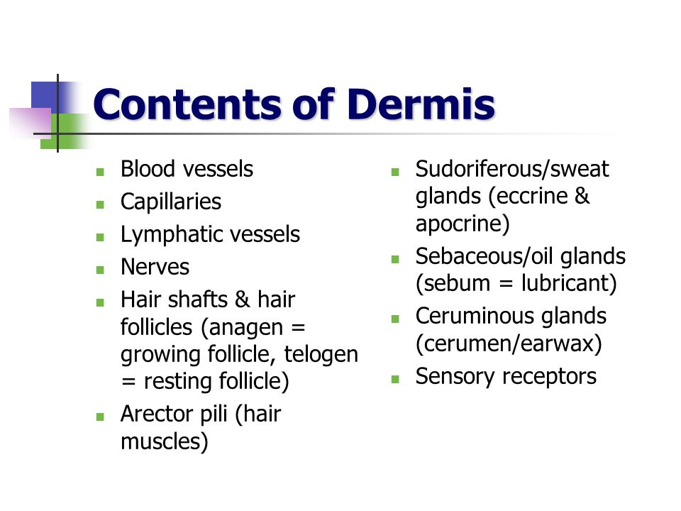 Contents of Dermis Blood vessels Capillaries Lymphatic vessels Nerves