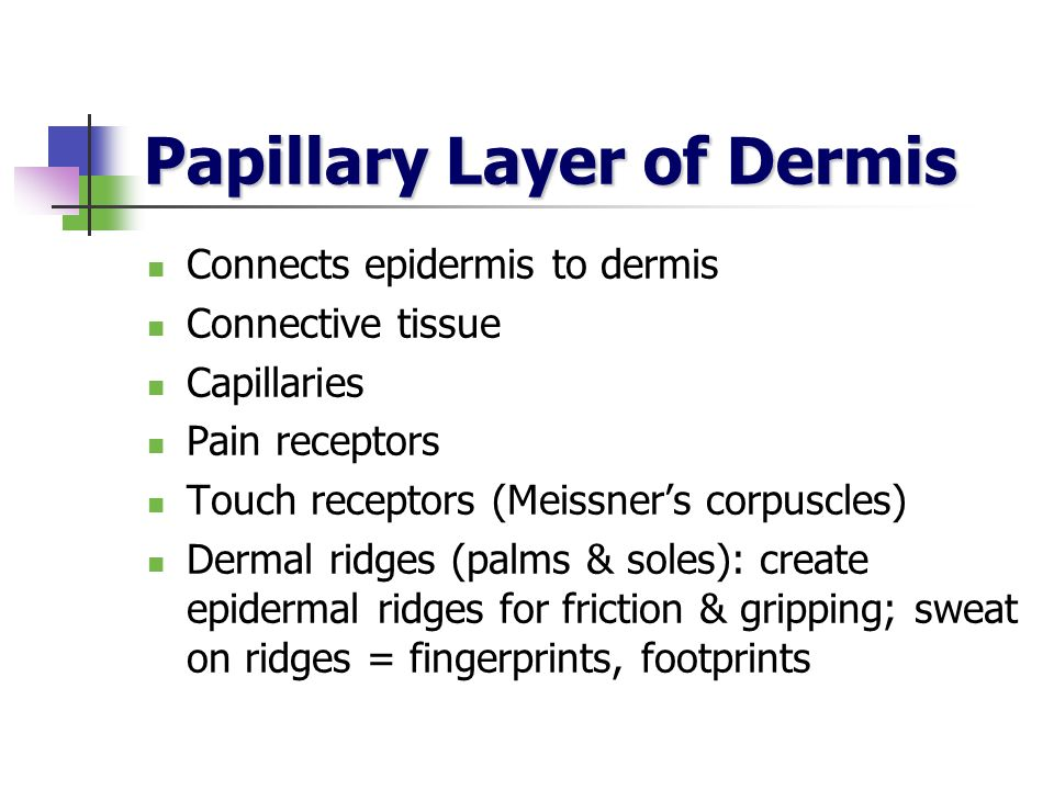 Papillary Layer of Dermis