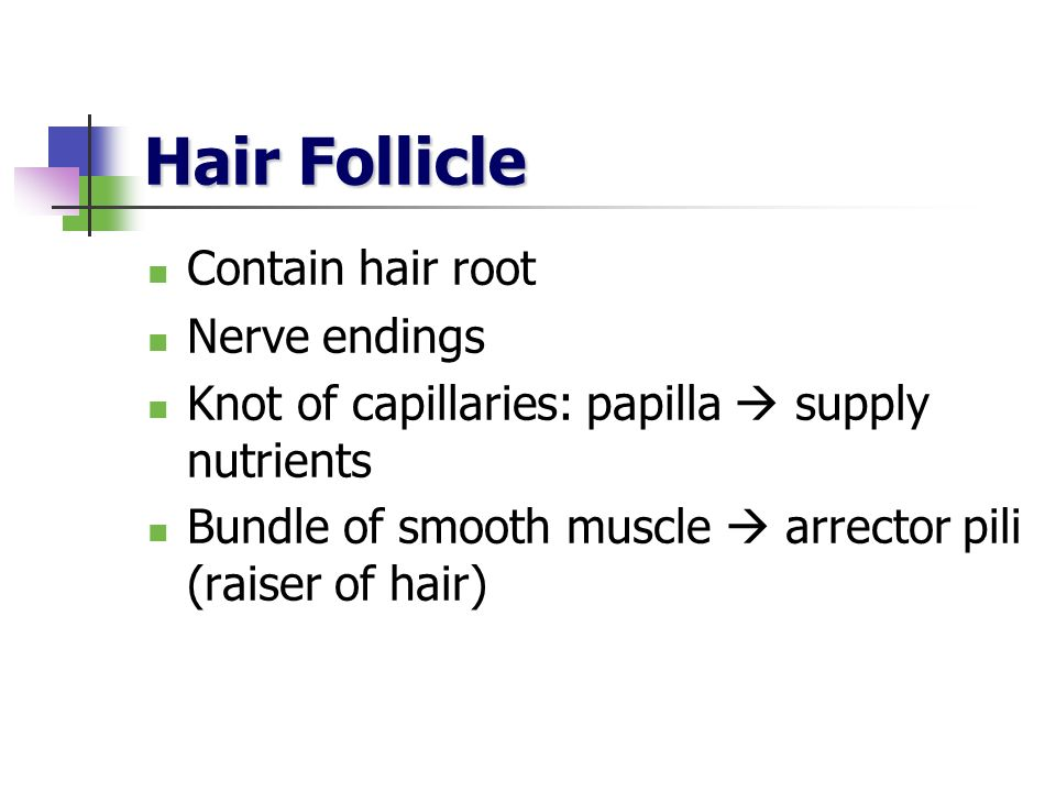 Hair Follicle Contain hair root Nerve endings