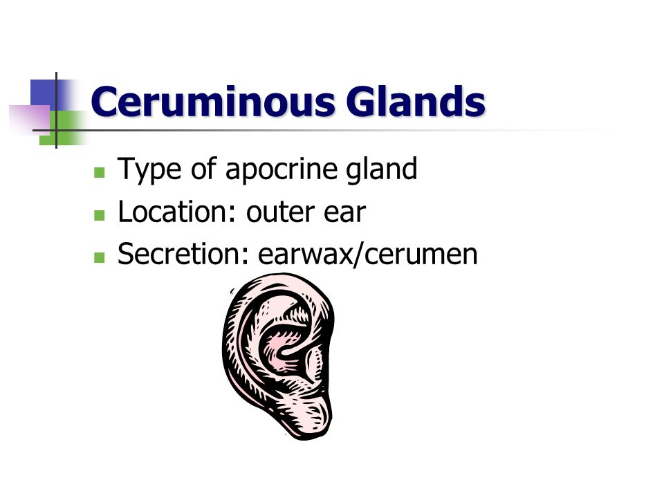 Ceruminous Glands Type of apocrine gland Location: outer ear