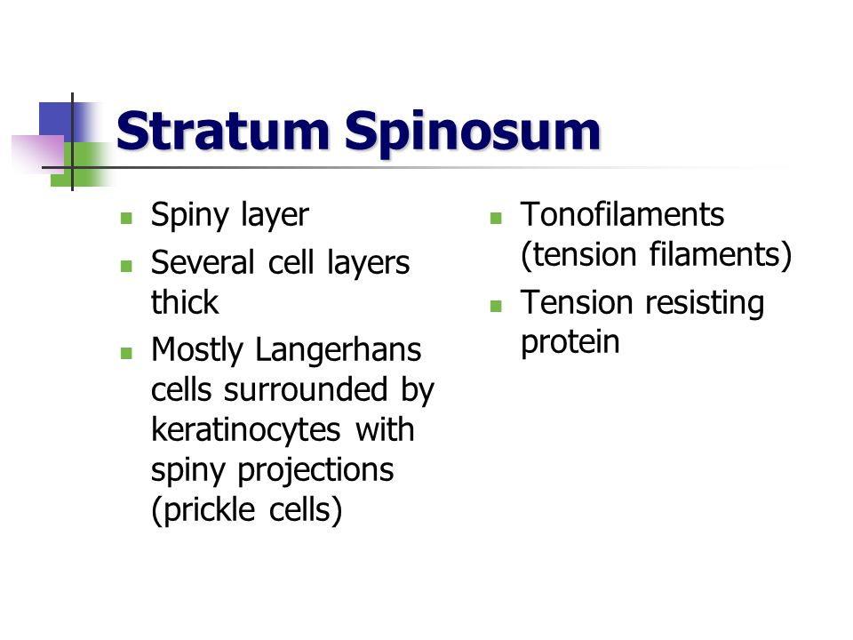 Stratum Spinosum Spiny layer Several cell layers thick