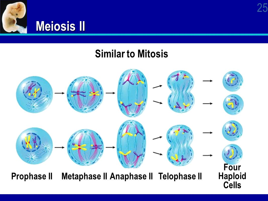 cell division mitosis and meiosis Study cell division and learn mitosis and meiosis with intelligent questions and answers accelerated learning method.